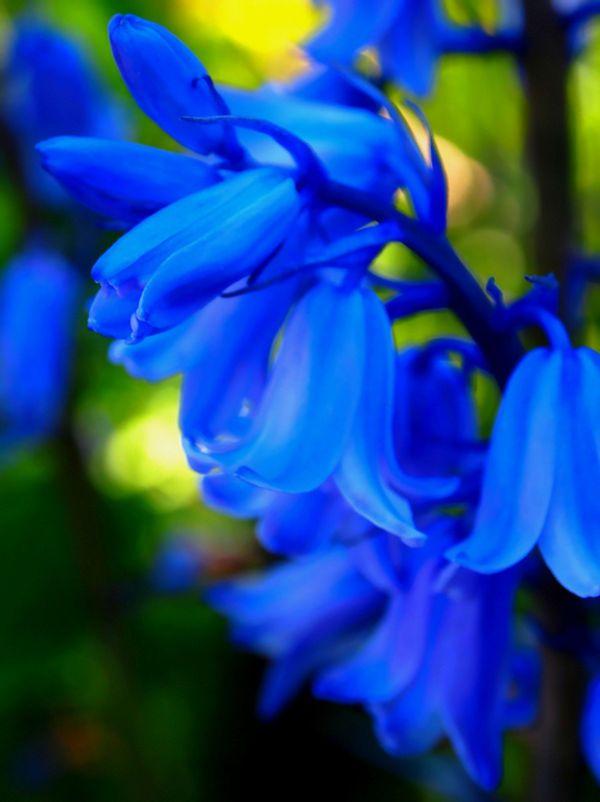 17 Japanese Flower Meanings Japan Talk Japanese Flowers Flower Meanings Bluebells
