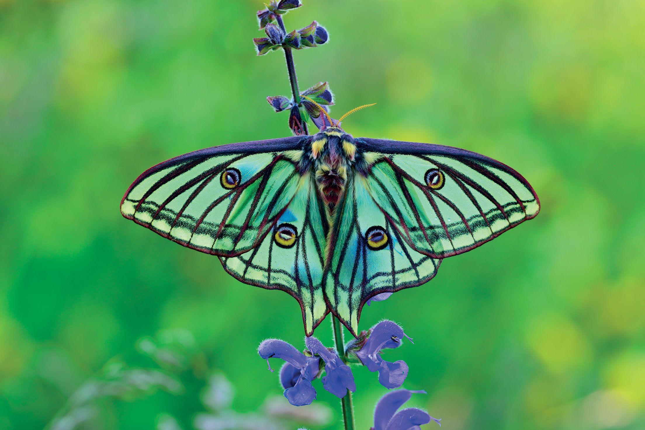 The Spanish Moon Moth Graellsia Isabellae Is A Moth Of