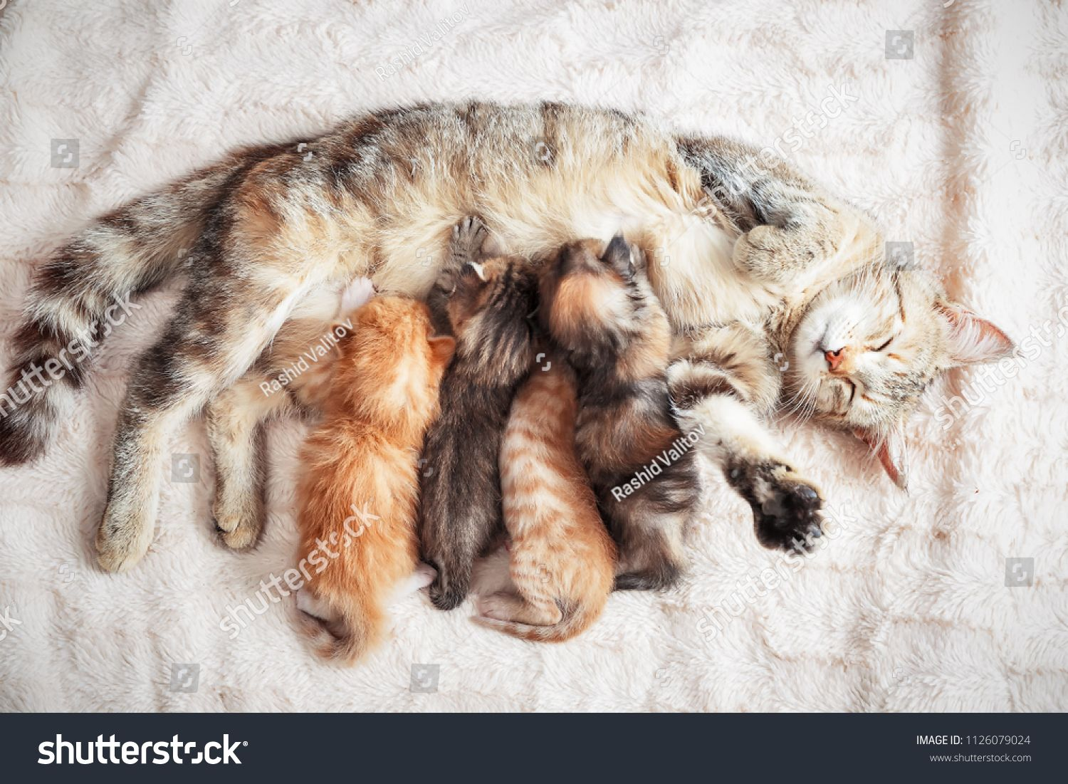 Grey Mother Cat Nursing Her Babies Kittens Close Upcat Mother
