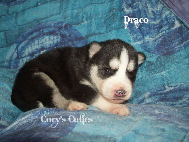 Siberian Husky Puppy For Sale In Elkland Mo Adn 22278 On