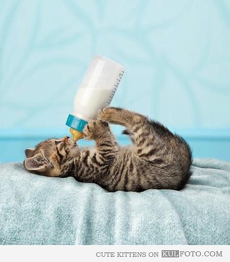 Kitten Drinking Milk Kittens Cutest Cute Cats Cats And Kittens