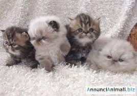 Risultati Immagini Per Gatti Persiani Pelo Corto Animali E Animali