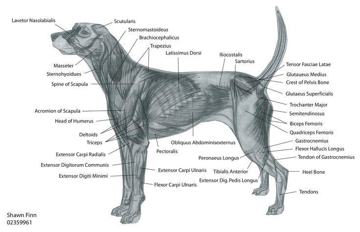 Muscles In Dog Front Leg Google Search Dog Anatomy Dogs Canine