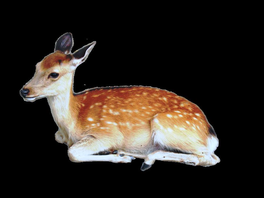 White Tailed Deer Red Deer Reindeer Antler Deer Head Transparent Background Png Clipart Whitetail Deer Deer Illustration Deer Sketch