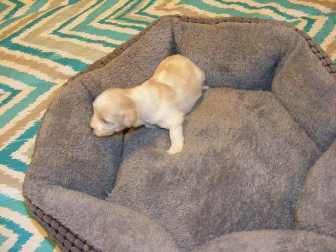 Litter Of 6 Maltipoo Puppies For Sale In Wetumpka Al Adn 24450