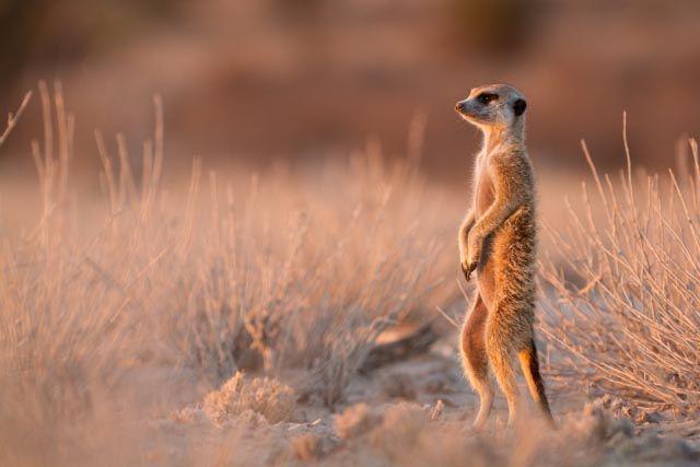 First Meerkat Pic! by [[BIOSPHERE]], via Flickr