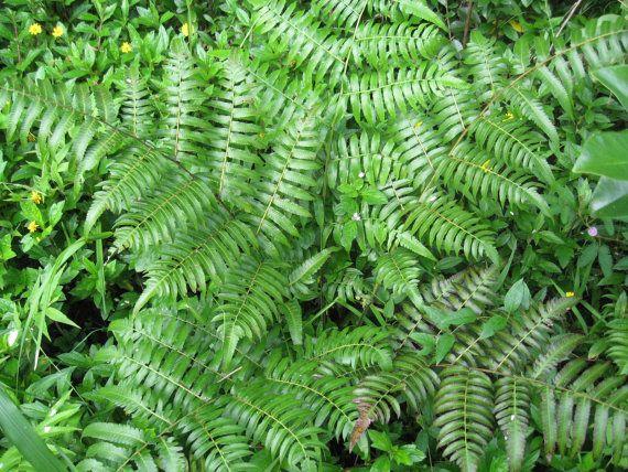 Asian edible fern warabi pako diplazium esculentum for Ornamental vegetable plants