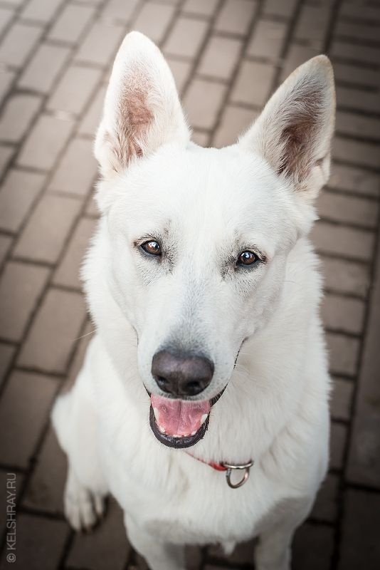White Swiss Shepherd Short Haired White Swiss Shepherd White German Shepherd White Shepherd
