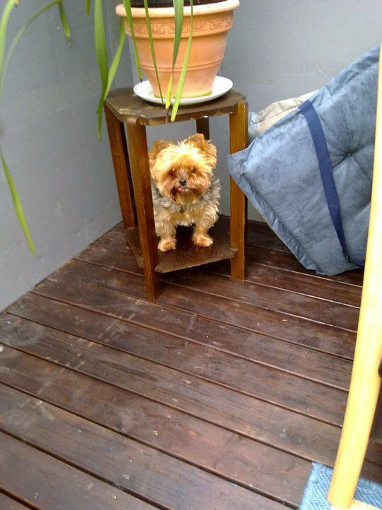 Pin by S W on Yorkies Yorkie, Puppies, Decor