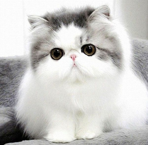 Top 10 Cutest Cat Breeds That Will Make You Smile | Persian ...