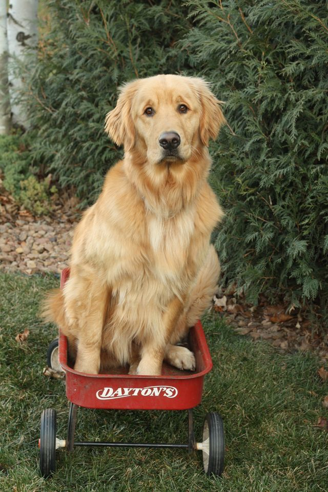 Pin by Kandace Lanclos on Goldens Golden dog, Golden