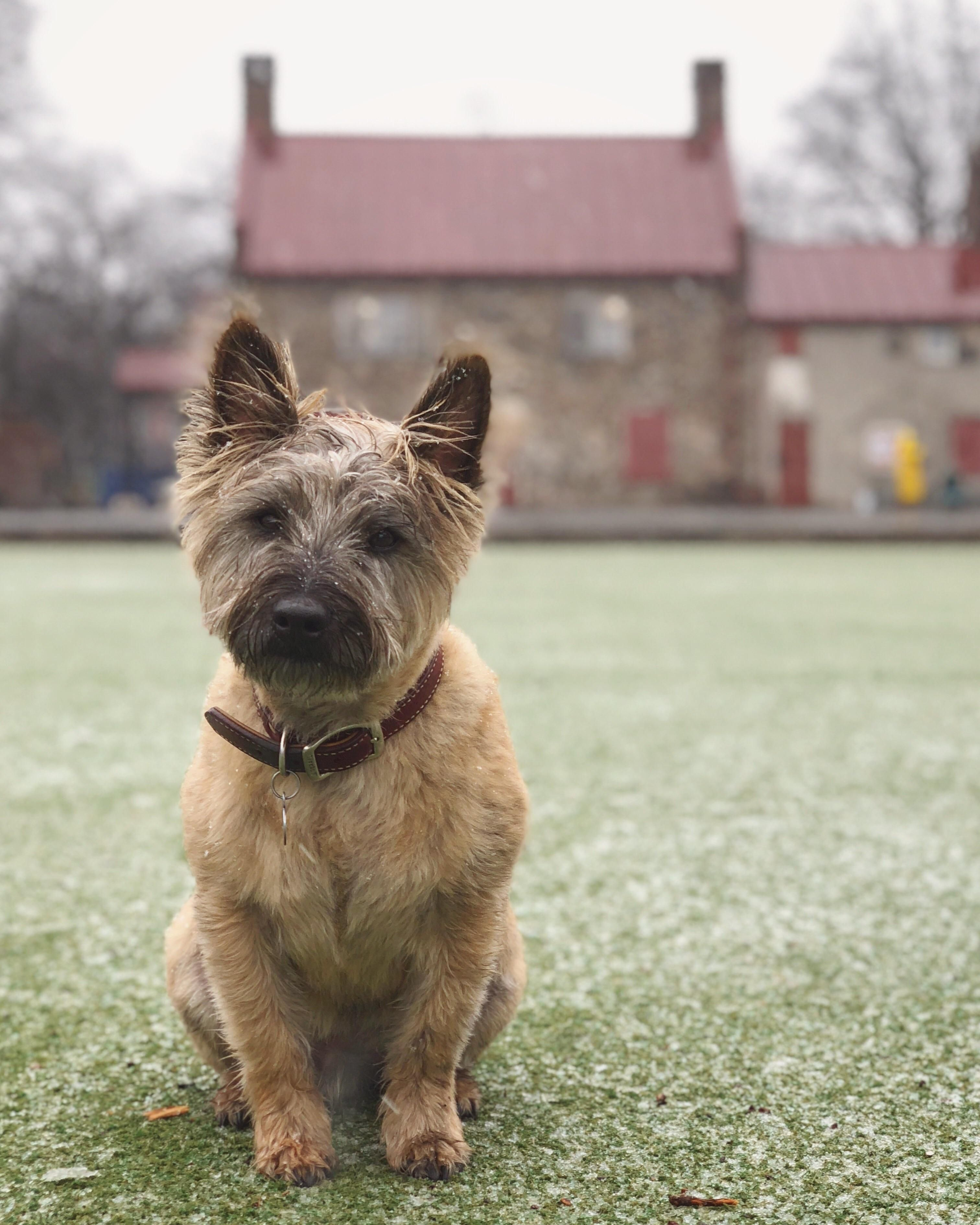 Simple Cairn Terrier Ball Adorable Dog - 1a0689c151c3e8cdfc10df1ae2ef6d66  Graphic_383466  .jpg