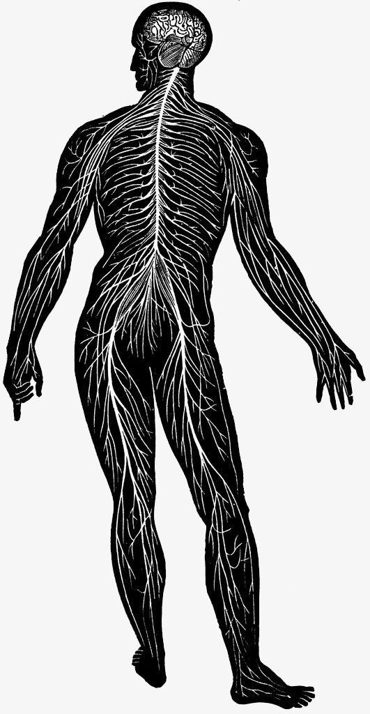 Cuerpo blanco y negro diagrama de sistema nervioso, Sistema Nervioso ...