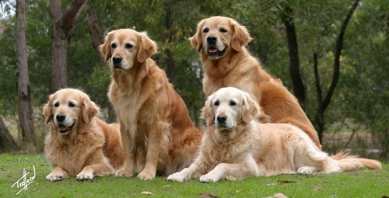 #Golden #Retriever family