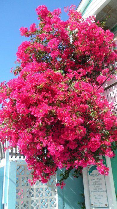 Originária Da América Do Sul, Floresce Abundantemente Na Primavera E Também  No Começo Do Outono