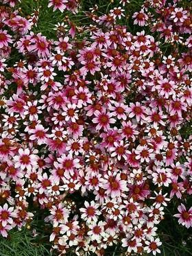 Coreopsis Heaven S Gate Bluestone Perennials Flowers Perennials Perennial Plants Tickseed