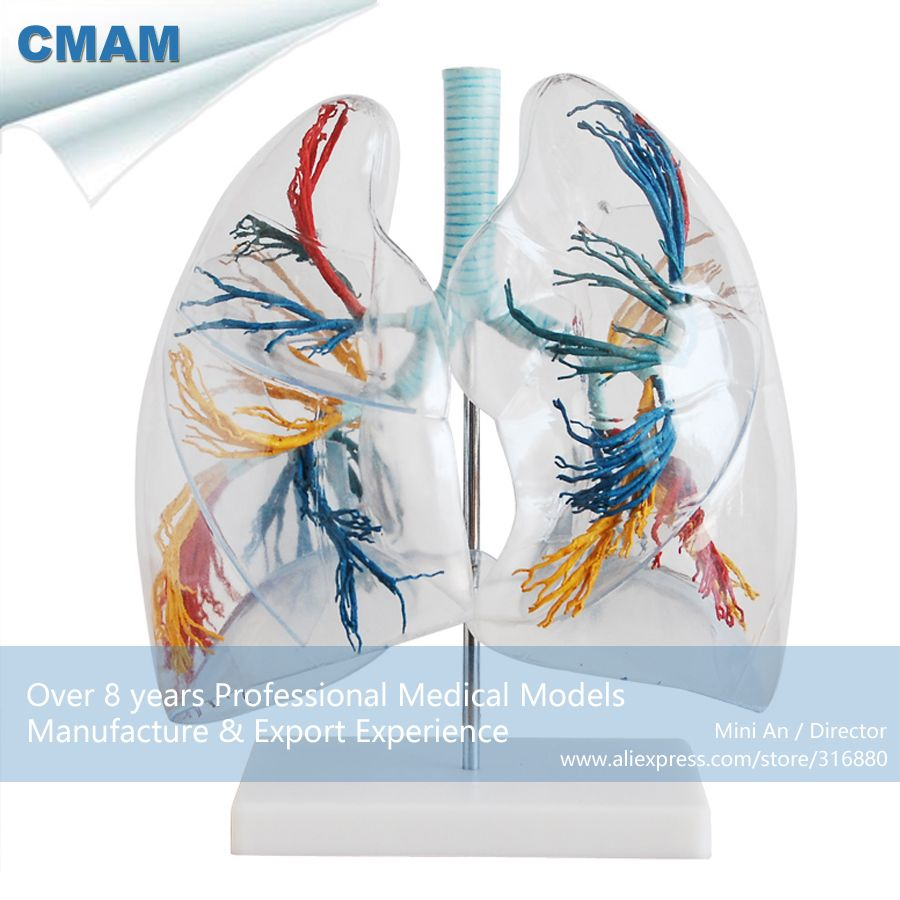 CMAM-LUNG02 Bronchial Tree with Larynx & Transparent lungs, 2 times ...