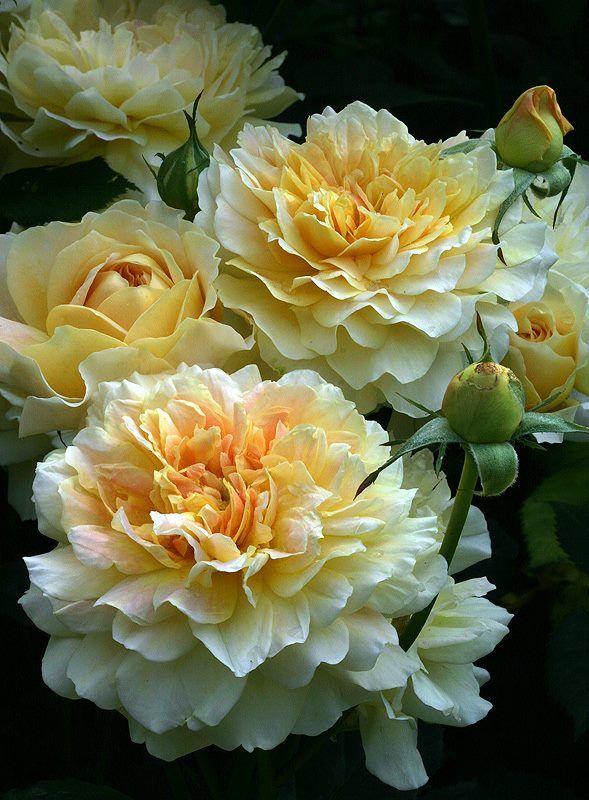 English Rose 'Molineux' By David Austin