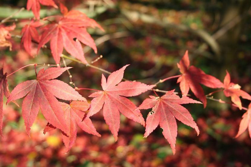 Variedades De Arce Japonés Arce Japones Acer Palmatum Acer Japonico