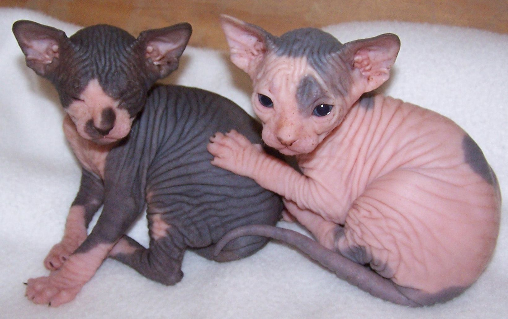 Sphynx Cats Scamsters Is Cheating Cat Lovers By Selling Them Shaved Kittens With Images Sphynx Kittens For Sale Pregnant Cat Sphynx Cat