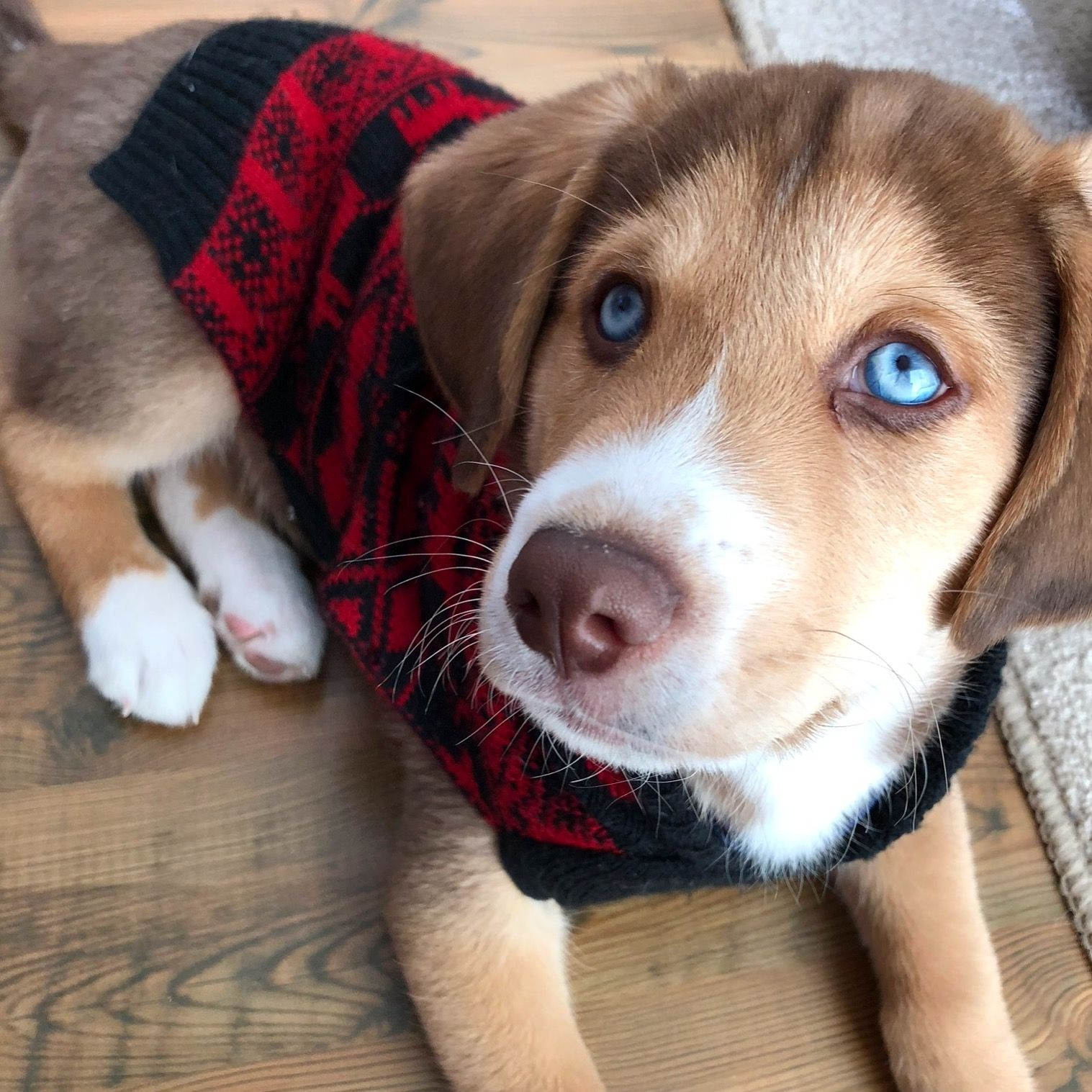 Goodboygryff The Most Beautiful Dog Look At Those Blue Eyes Half Beagle Half Husky All Adventure Most Beautiful Dogs Beautiful Dogs Animals