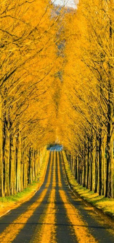 Through The Golden Road Shiga Japan Beautiful Photography Nature Nature Photography Beautiful Nature