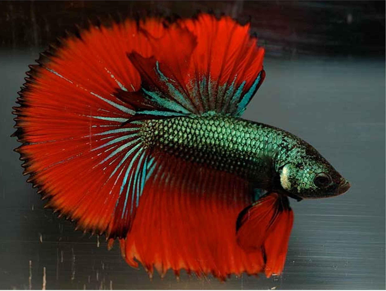 Fungal Disease In Betta Fish | Betta, Fish, Betta fish