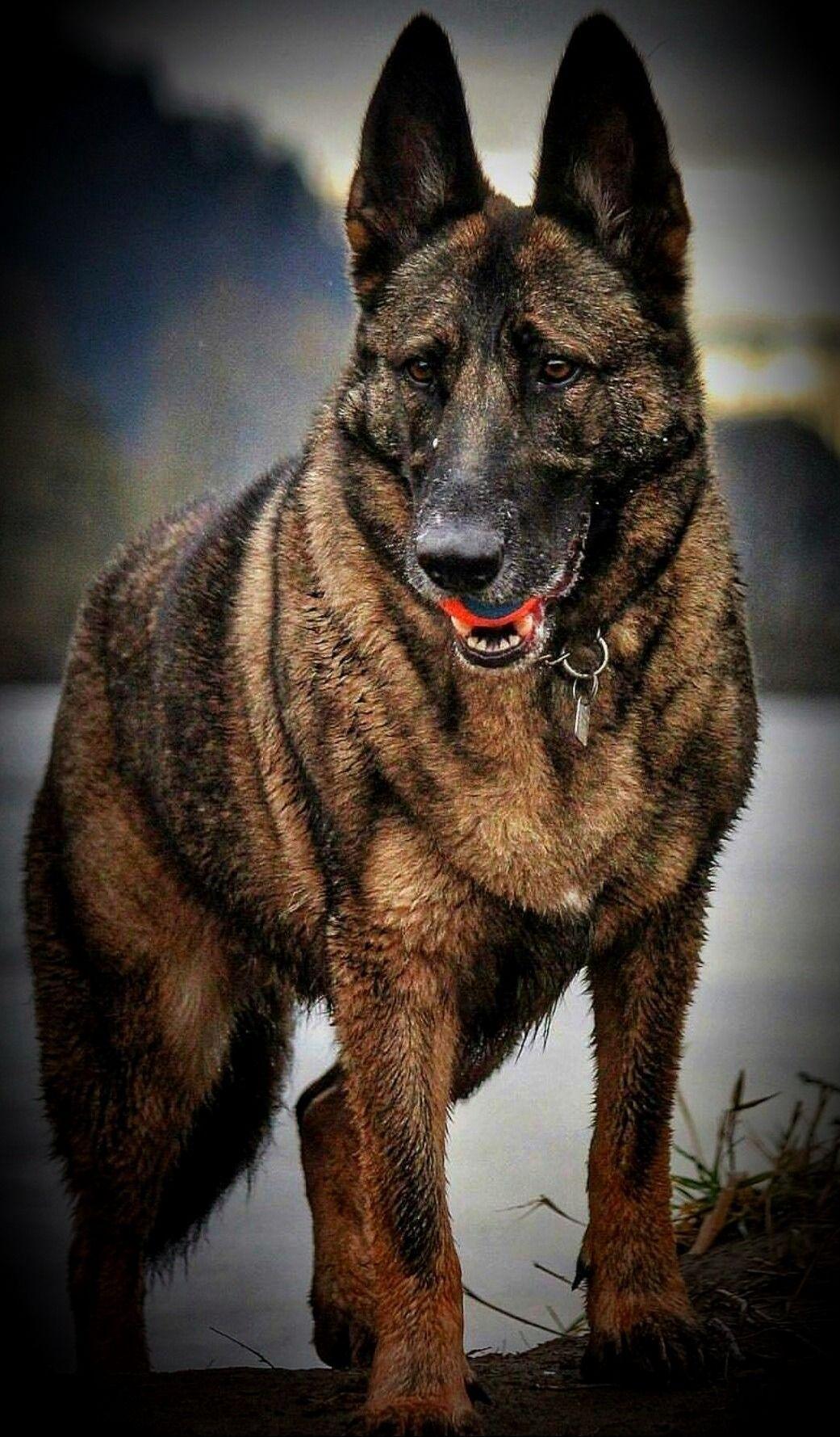 Bb O Z K U R Tt German Shepherd German Shepherd Dogs Sable German Shepherd