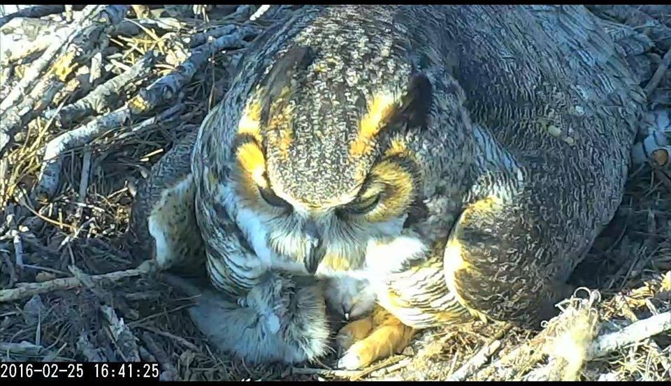 Great Horned Owl mom and chick. Cornell GHO Live Cam