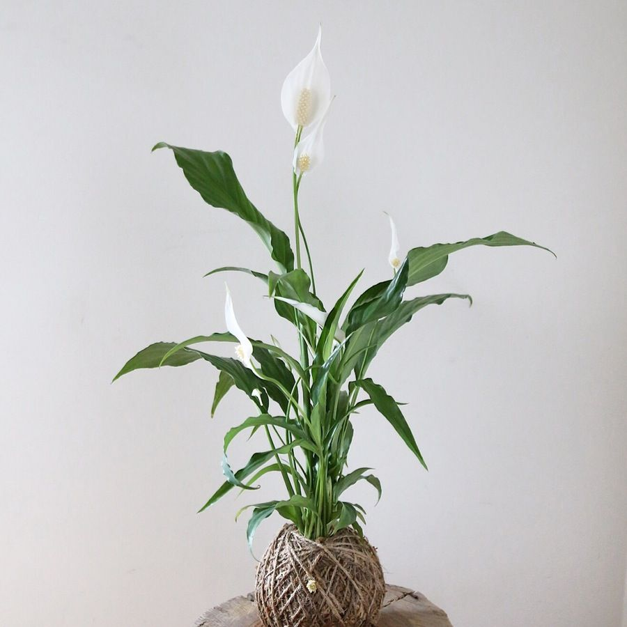 Image of peace lily kokenest peace lily plants garden