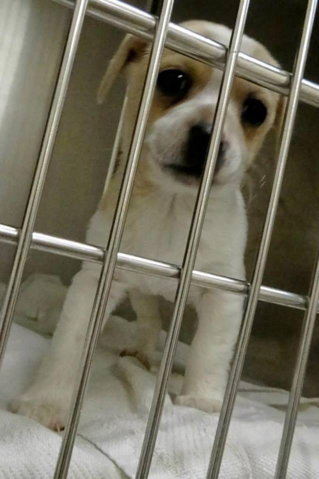 Safe Puppy Alert Puppy Alert Puppy Cage 1 Dayton White Tan Pit X Male 2 Months Impound 12 9 13 Due Puppy Cage Save Animals Animal Control