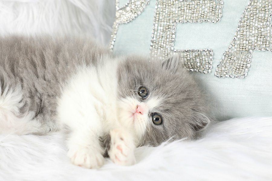 Persian Kittens For Sale Downy Persian Kittens For Sale
