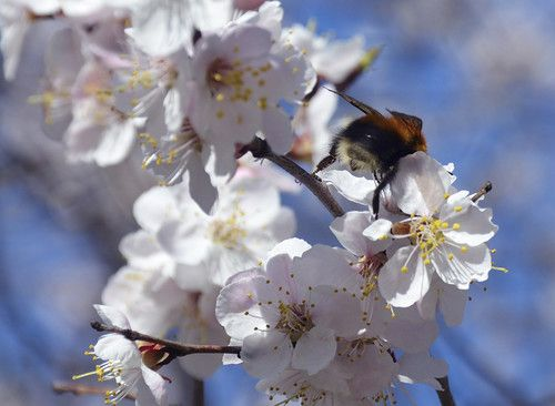 spring, trees, flowers, sakura, nature, Siberia, insects ...