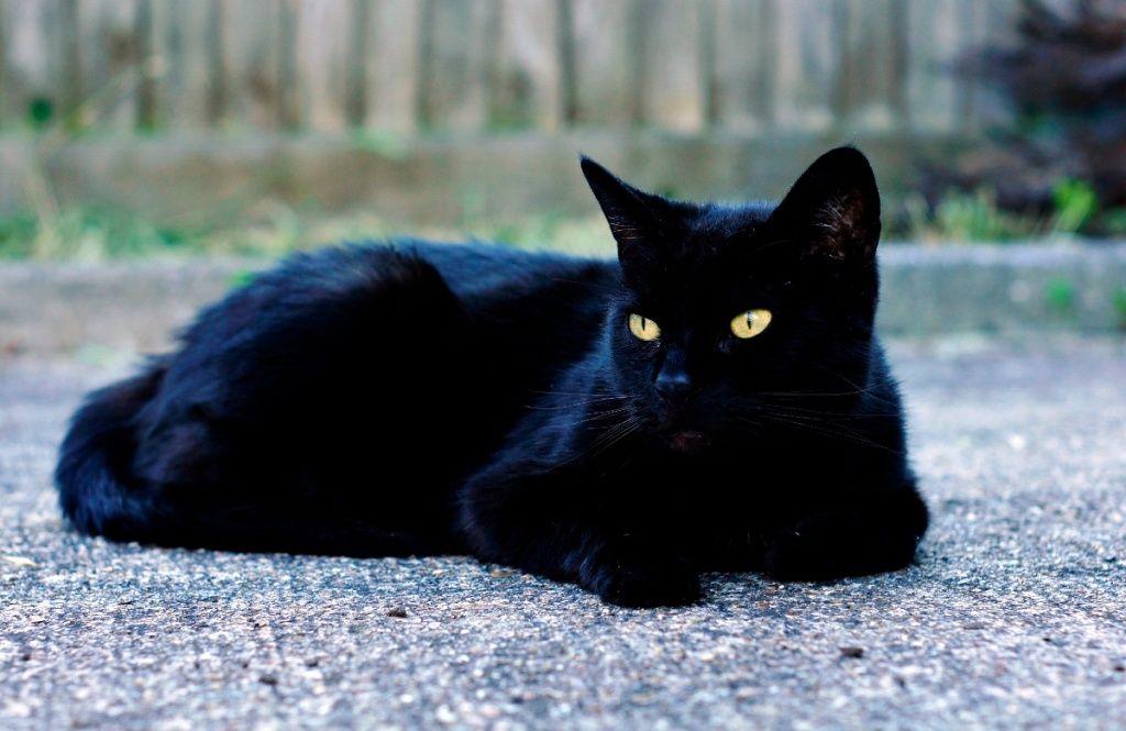 Black Cat Wallpaper Description For Black Cat Background Black Cat Download This Wallpaper Grey And White Cat Black Cat Pictures Black Cat