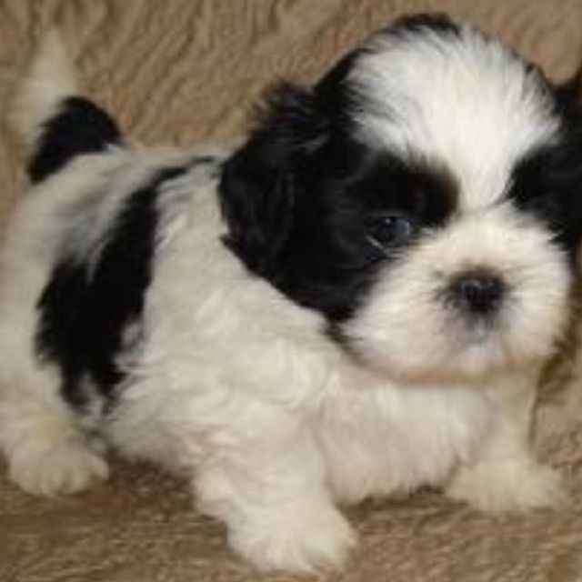 Blue Eyed Shih Tzu Awwwwww Shih Tzu Puppy Shih Tzu Dog Puppies