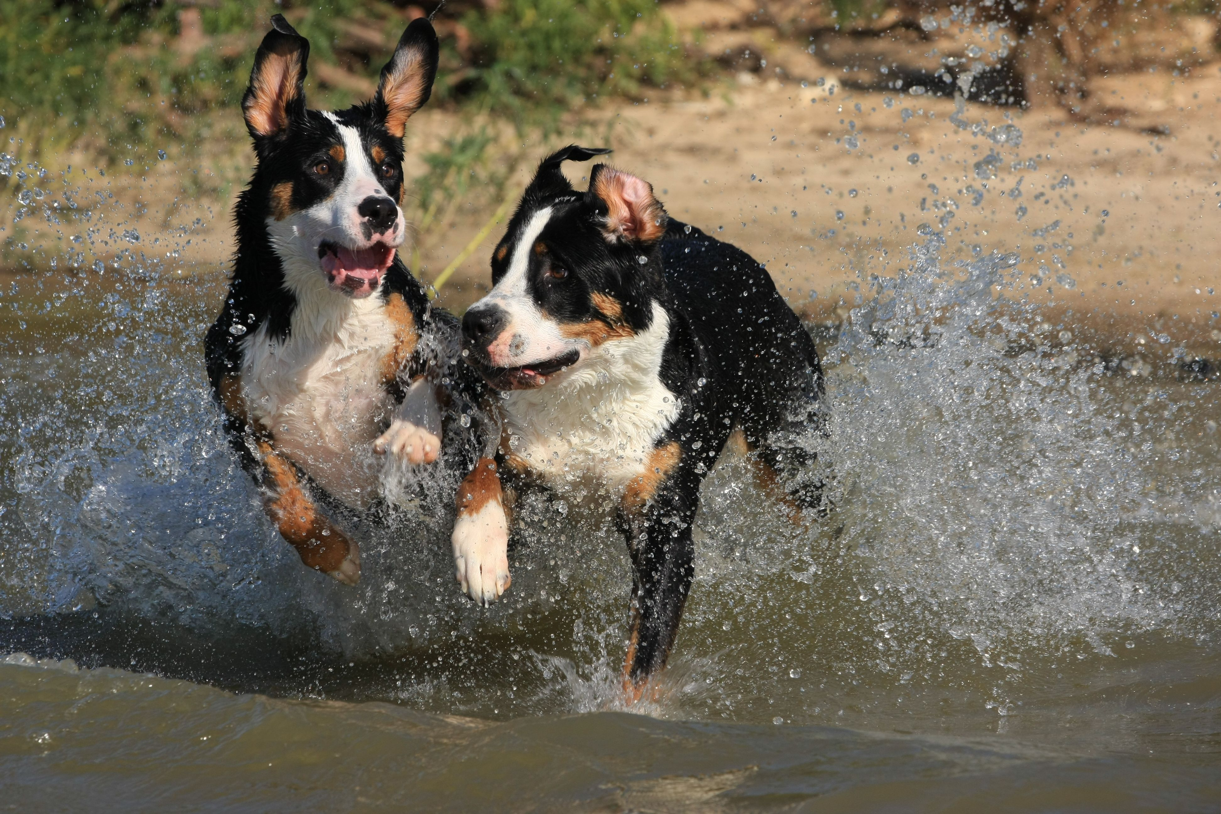 Weeee Great Swiss Mountain Dog Dog Photos Swiss Mountain Dogs
