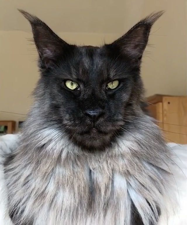 What Are You?!: Maine Coon Cat That Looks Like A M