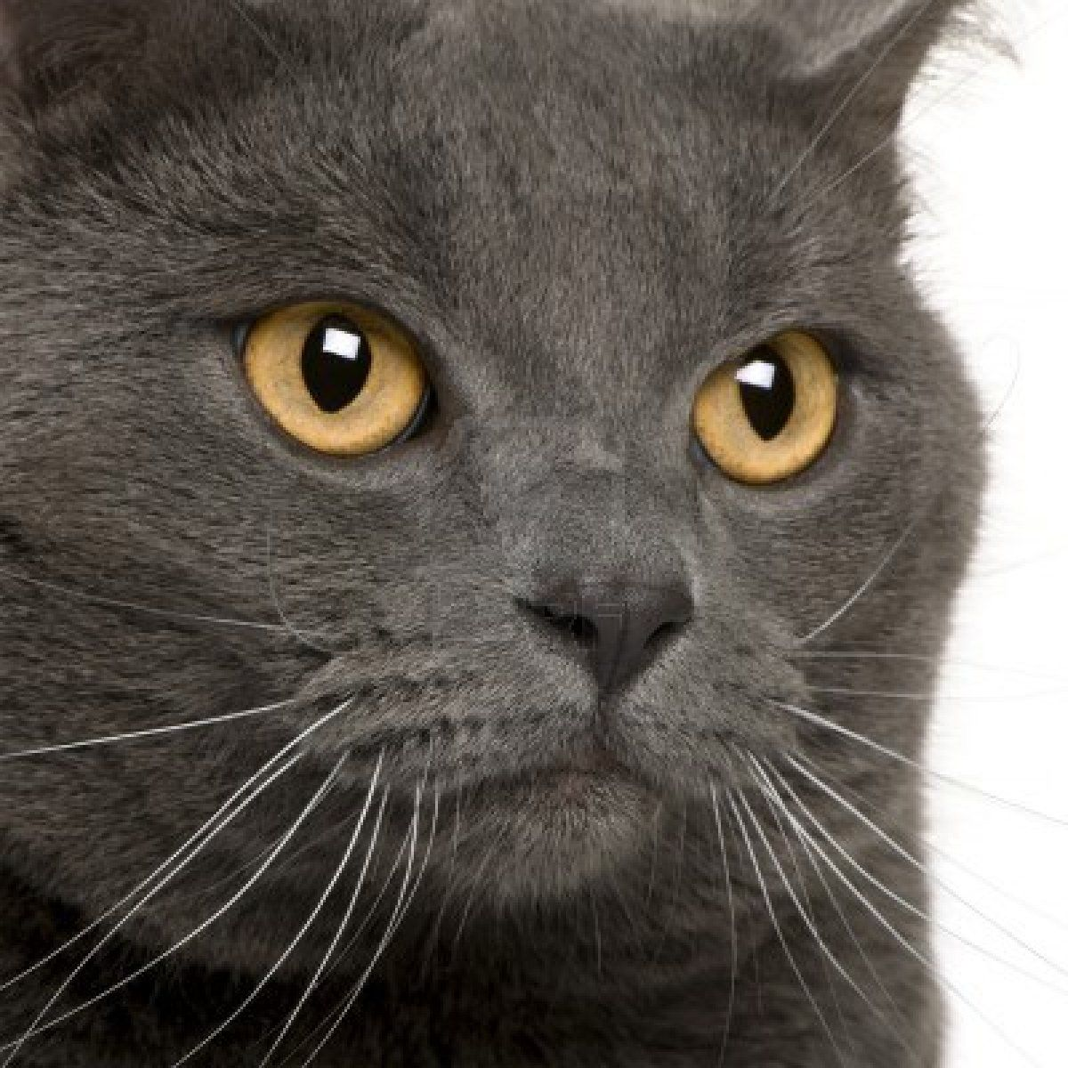 Close Up Of A Chartreux 3 Years Old Cat Breeds Chartreux Cat