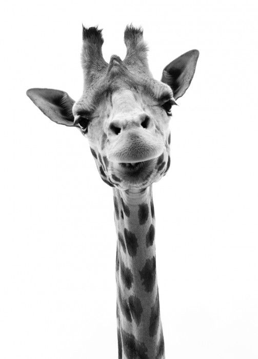 Nouveautes Buk Nola Image Girafe Girafe Animaux Noir Et Blanc
