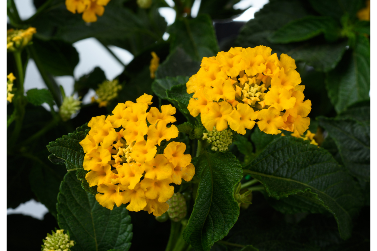 Lantana Pictures In 2020 Lantana Garden Small Space Gardening