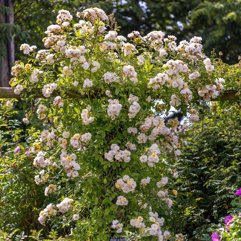 Ghislaine De F Ligonde  Rambling Roses  Type