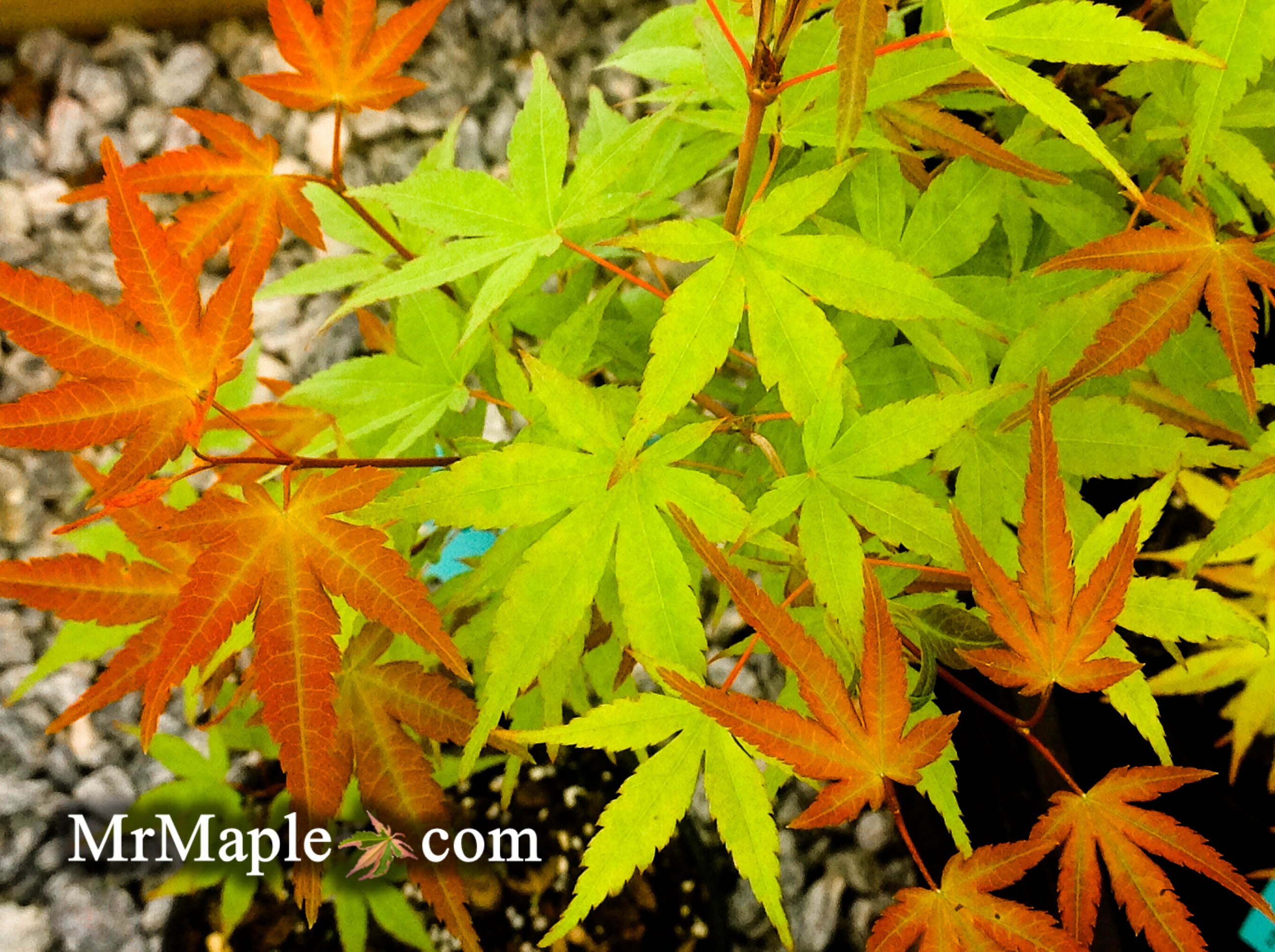 Kawahara Rose is a beautiful new selection fo Japanese maple with ...