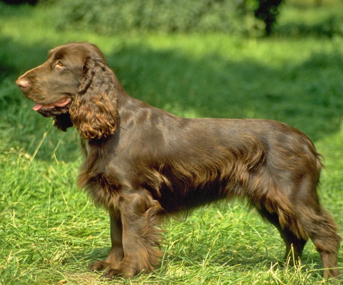 Watch How to Identify a Sussex Spaniel video
