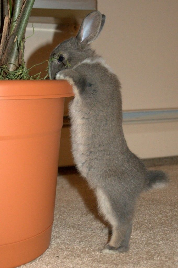 Bunny Stretches Up to See What's Available in the Planter