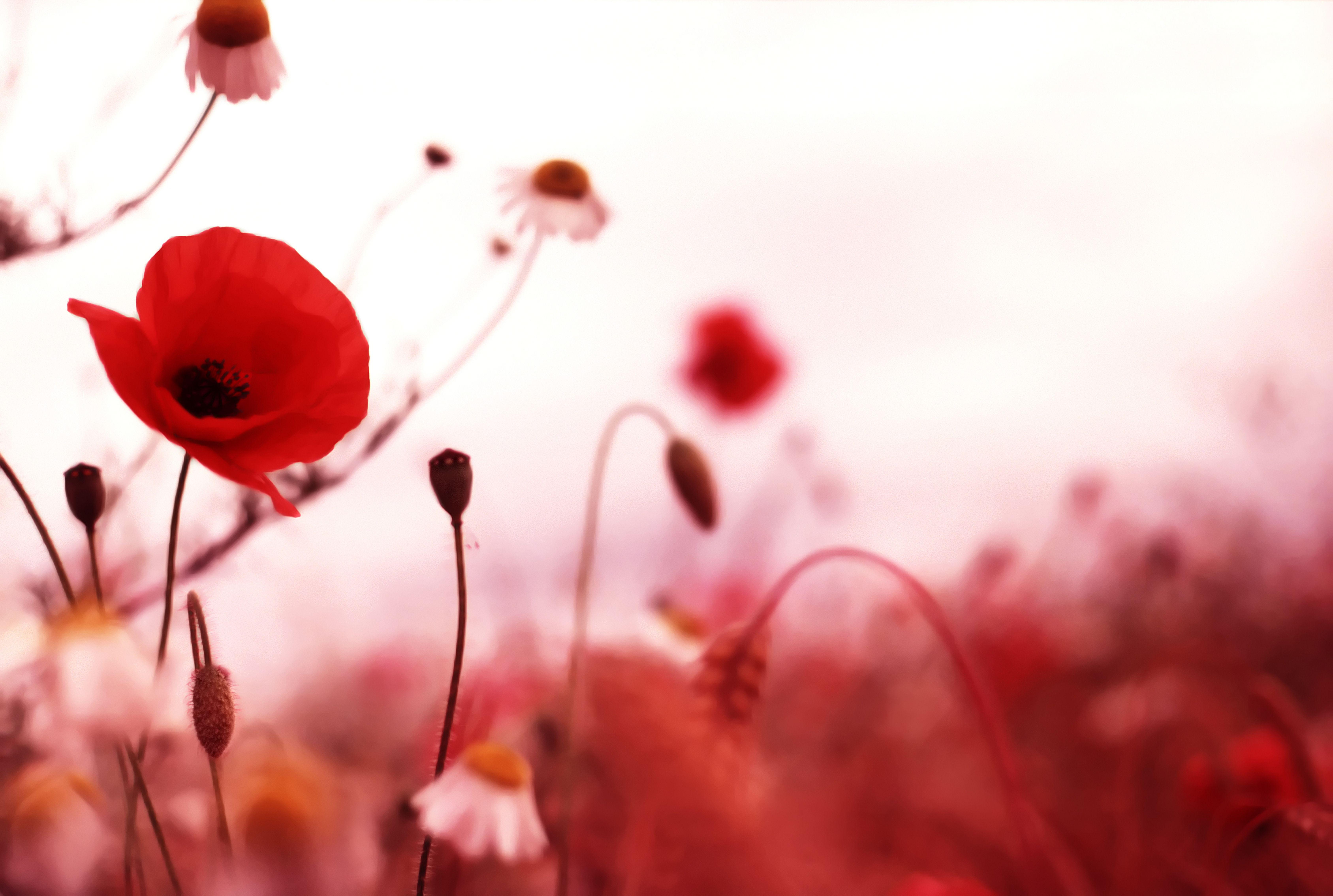 Coquelicots Fleur De Pavot Coquelicots Jour Du Souvenir