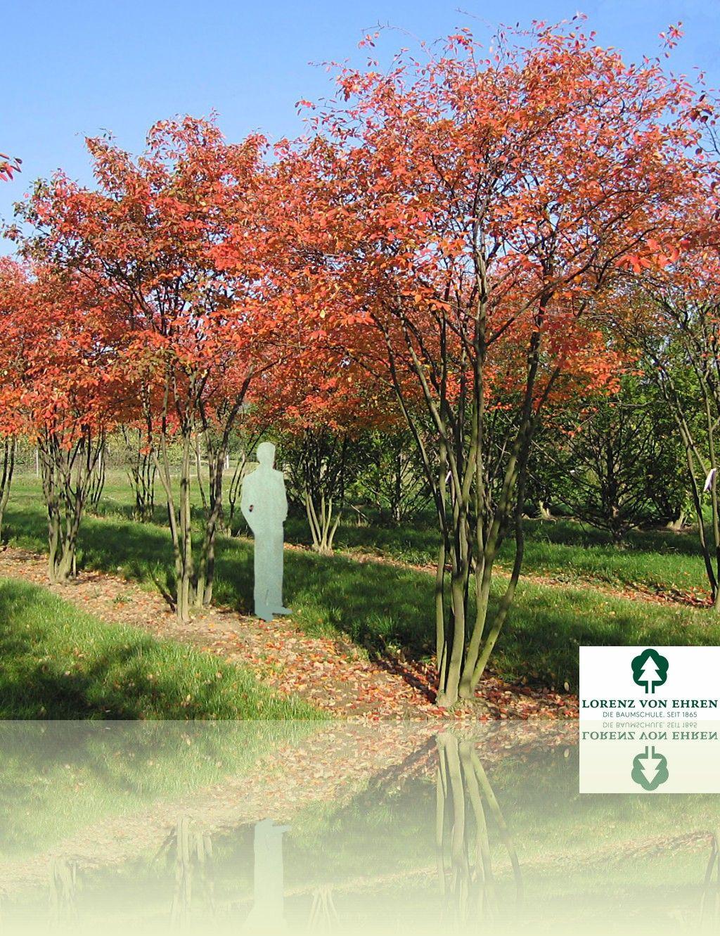 Amelanchier Lamarckii | Baumschule Lorenz Von Ehren   Baumschulen Seit 1865    Wir Lieben Bäume