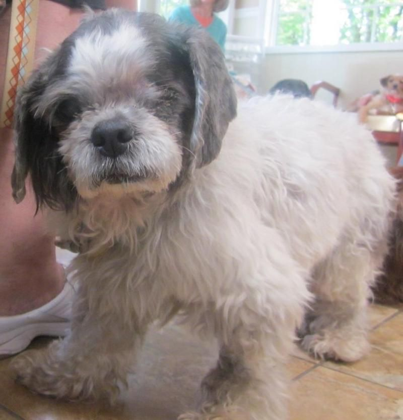 Meet JockeyONE EYE;(, a Petfinder adoptable Shih Tzu Dog