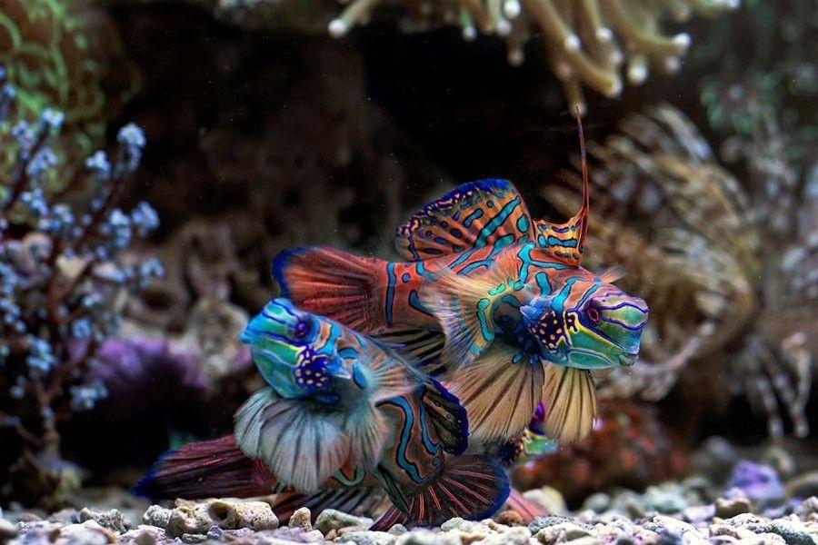 Hermosos!!! Mandarin fish, Salt water fishing, Fish