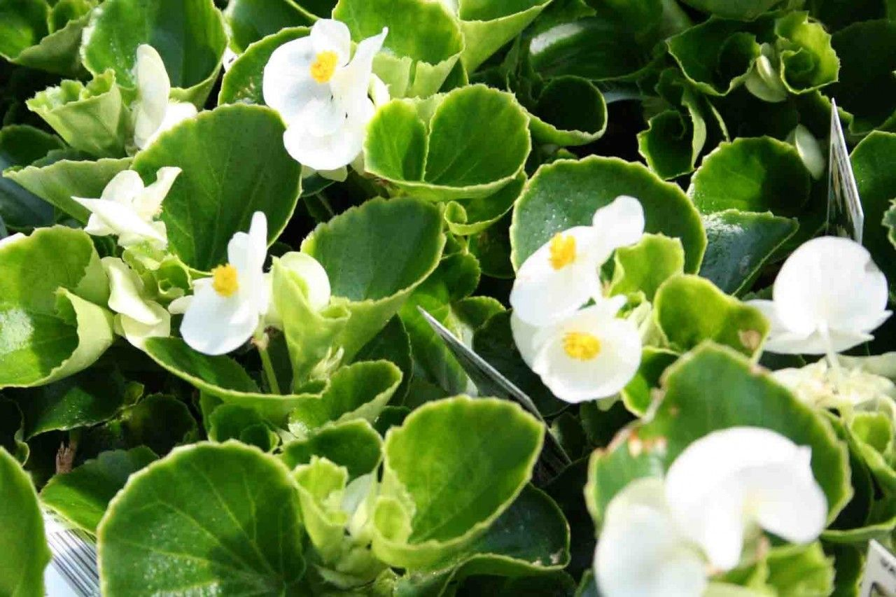 begonia white   Begonia Green Leaf 'White'