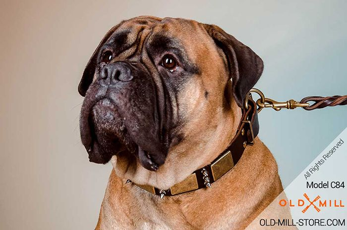 Decorated with Spikes and Plates Leather Collar for your Bullmastiff